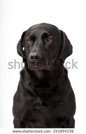 Beautiful, strong black labrador retriever posing in studio