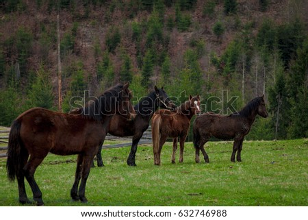 Beautiful strong ukrainian horses grazing in the valleys of the Carpathians, Ukraine. Ukraine Carpathian landscape