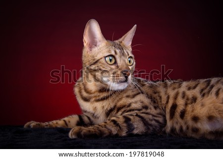 Beautiful stylish Bengal cat. Animal portrait. Bengal cat is lying. Red background. Collection of funny animals - stock photo