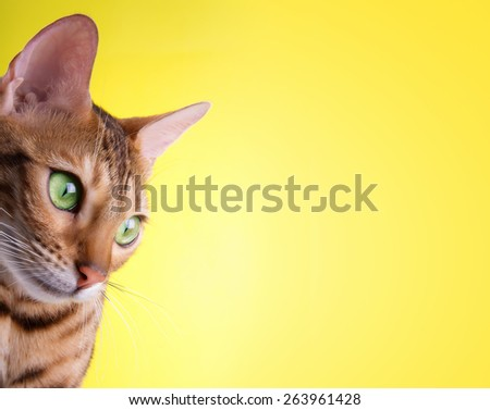 Beautiful stylish Bengal cat. Animal portrait. Bengal cat is lying. Yellow background. Collection of funny animals - stock photo