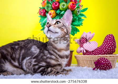 Beautiful stylish Bengal cat. Animal portrait. Bengal cat is lying. Yellow background. Collection of funny animals. Colorful decorations