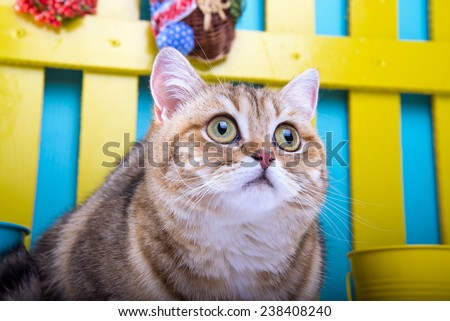 Beautiful stylish british cat. Animal portrait. British cat with bow-tie is lying. Blue background. Colorful decorations. Collection of funny animals - stock photo