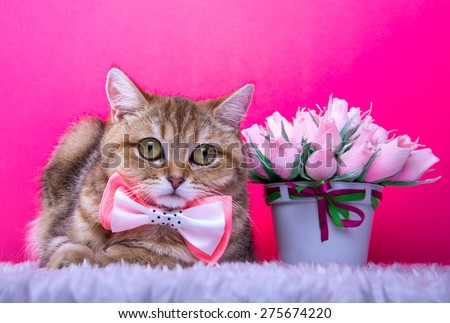 Beautiful stylish british cat. Animal portrait. British cat with bow-tie is lying. Pink background. Colorful decorations. Collection of funny animals - stock photo