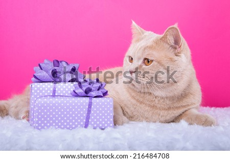 Beautiful stylish british cat with nice presents. Animal portrait. British cat lying. Pink background. Colorful decorations. Collection of funny animals - stock photo