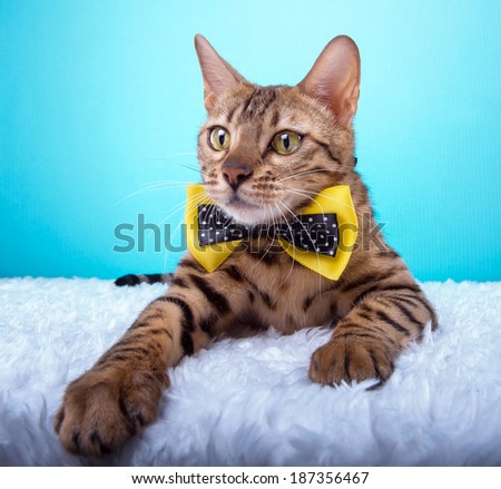 Beautiful stylish purebred bengalensis cat. Animal portrait. Purebred cat is lying. Blue background. Colorful decorations