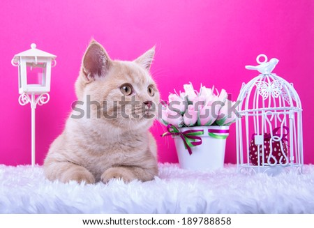 Beautiful stylish purebred british cat. Animal portrait. Purebred cat is lying. Pink background. Colorful decorations - stock photo