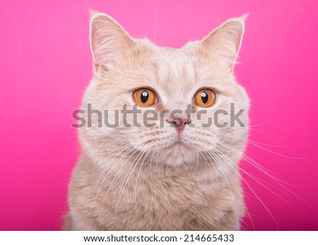 Beautiful stylish purebred british cat. Animal portrait. Purebred cat is lying. Pink background