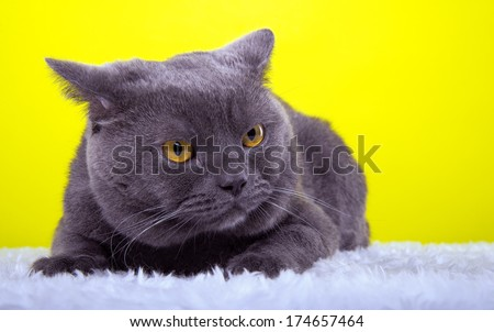 Beautiful stylish purebred british cat. Animal portrait. Purebred cat is lying. Yellow background. Colorful decorations. Collection of funny animals - stock photo