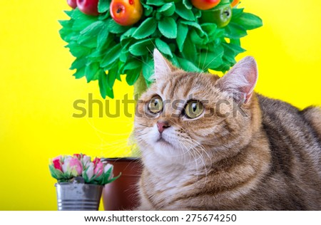 Beautiful stylish purebred british cat. Animal portrait. Purebred cat is lying. Yellow background. Colorful decorations