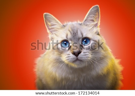 Beautiful stylish purebred cat. Animal portrait. Purebred cat is sitting. Orange background. Colorful decorations. Collection of funny animals - stock photo