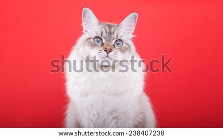 Beautiful stylish purebred cat. Animal portrait. Purebred cat is sitting. Red background. Colorful decorations. Collection of funny animals