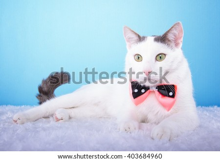 Beautiful stylish purebred cat. Animal portrait. Purebred cat with bow-tie is lying. Blue background. Colorful decorations. Collection of funny animals - stock photo