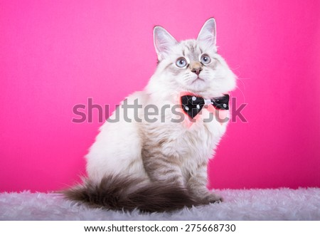 Beautiful stylish purebred cat. Animal portrait. Purebred cat with bow-tie is lying. Pink background. Colorful decorations. Collection of funny animals - stock photo