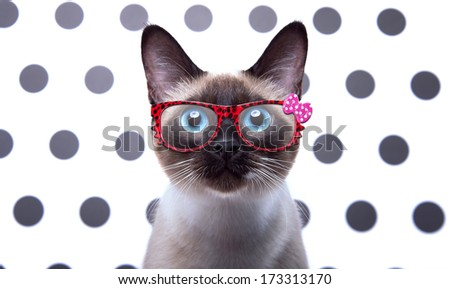 Beautiful stylish Siamese cat. Animal portrait. Siamese cat is lying. Beautiful background. Colorful decorations. Collection of funny animals - stock photo