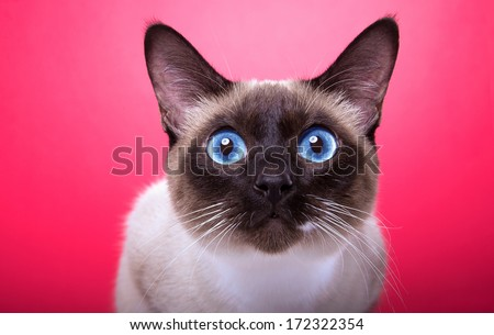 Beautiful stylish Siamese cat. Animal portrait. Siamese cat is lying. Pink background. Colorful decorations. Collection of funny animals - stock photo