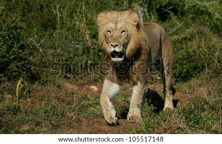 Beautiful sub adult male lion walking straight towards the camera,in this beautifull low angle profile portrait taken in Addo Elephant national park,eastern cape,south africa - stock photo