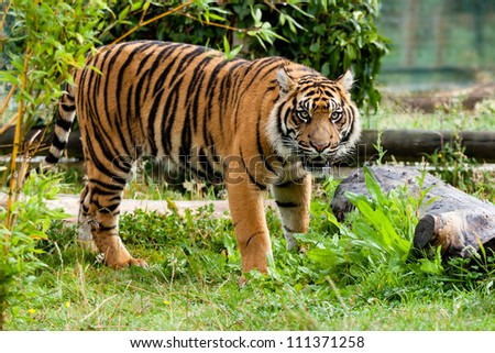 Beautiful Sumatran Tiger Growling in Greenery Panthera Tigris Sumatrae