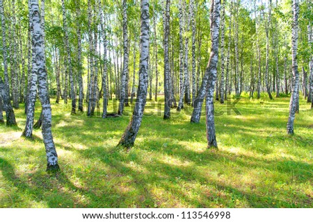 Beautiful summer birch grove
