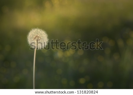 Beautiful summer landscape and Dandelion.