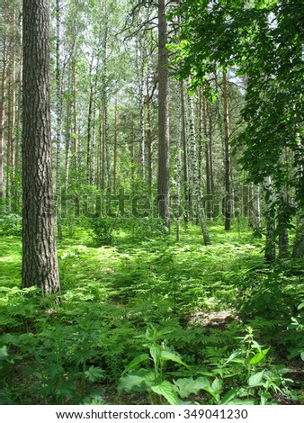Beautiful summer landscape. In the mixed forest