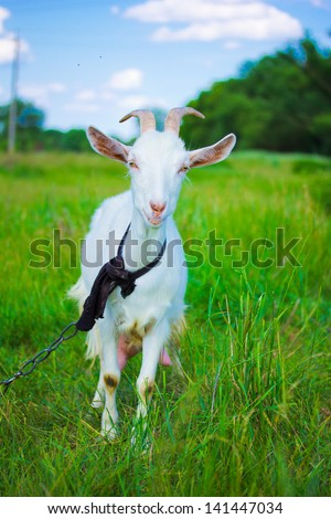 Beautiful summer landscape with a goat