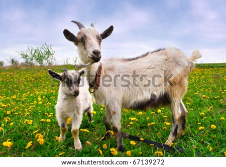 Beautiful summer landscape with a goat and kid - stock photo