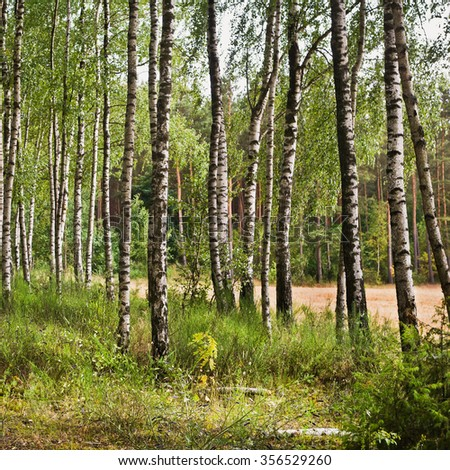 Beautiful summer landscape with birches