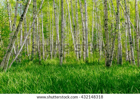 Beautiful summer landscape with forest and green grass. Birch forest. Birch Grove. White birch trunks. Spring sunny forest. - stock photo