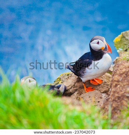 Beautiful Summer Picture Of Icelandic Horned Puffin In Iceland Latrabjarg Cape