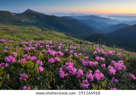 Beautiful summer sunrise. Blooming rhododendron bushes. Landscape with pink flowers. Carpathian mountains, Ukraine, Europe - stock photo