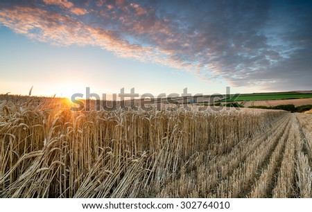 Beautiful summer sunset over a field of golden ripe corn near Padstow in Cornwall - stock photo