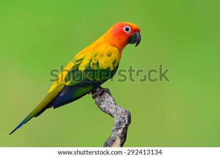 Beautiful Sun Conure bird isolated on green background. - stock photo
