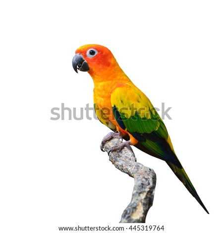 Beautiful Sun Conure bird isolated on white background.