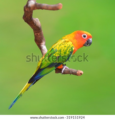 Beautiful Sun Conure bird perching on a branch isolated on green background. - stock photo