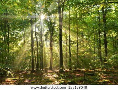 Beautiful sunbeams in magic beach forest - Poland - stock photo