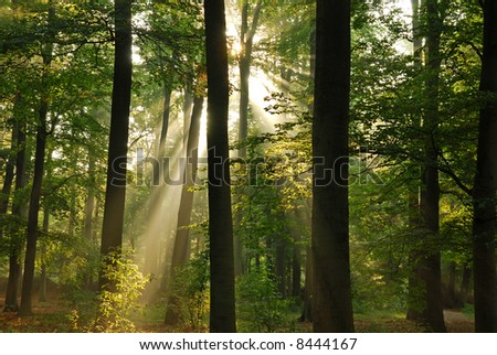 Beautiful sunbeams in the forest at morning. - stock photo