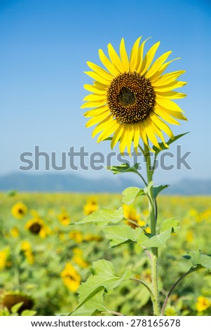 Beautiful sunflower. - stock photo