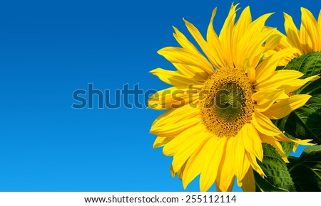 Beautiful sunflower close up against the sky - stock photo