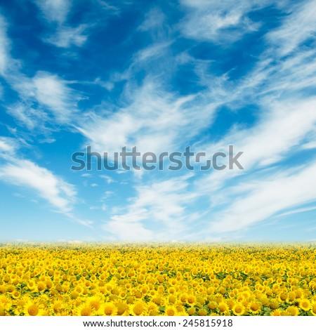 Beautiful sunflower field and blue sky - stock photo
