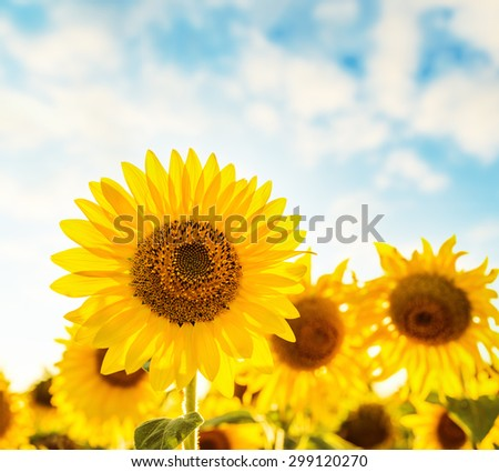 beautiful sunflower field and blue sky on sunset. soft focus - stock photo