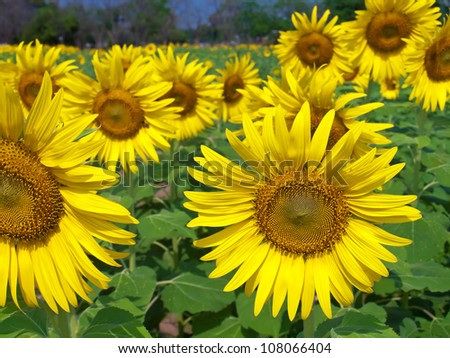 Beautiful sunflower field in countryside of thailand - stock photo
