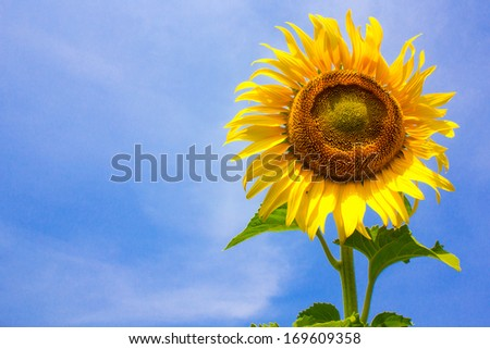 Beautiful sunflower field in summer - stock photo