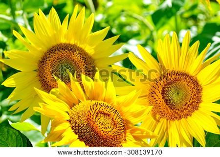 Beautiful sunflower field in summer - stock photo