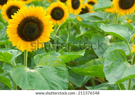 Beautiful sunflower in field - stock photo