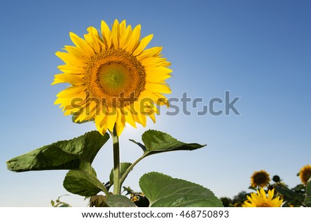 Beautiful sunflower in the field against vivid sky