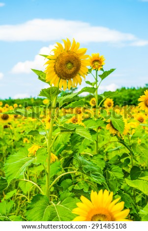 Beautiful sunflower in the field, Thailand. - stock photo