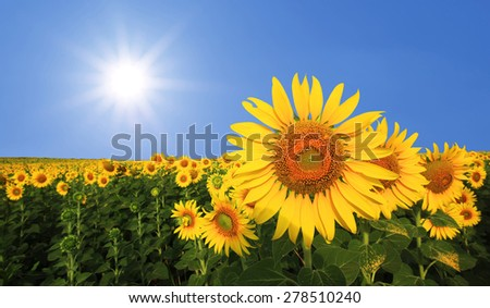 beautiful sunflower in the field with sunlight background - stock photo