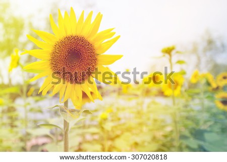 Beautiful sunflower in the sun, Summer on bright sunny day. (Soft Focus) - stock photo