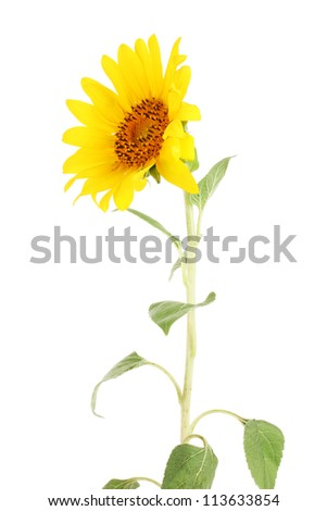 beautiful sunflower, isolated on white