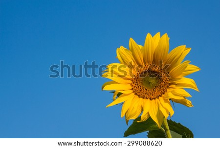 Beautiful sunflower on blue sky background - stock photo